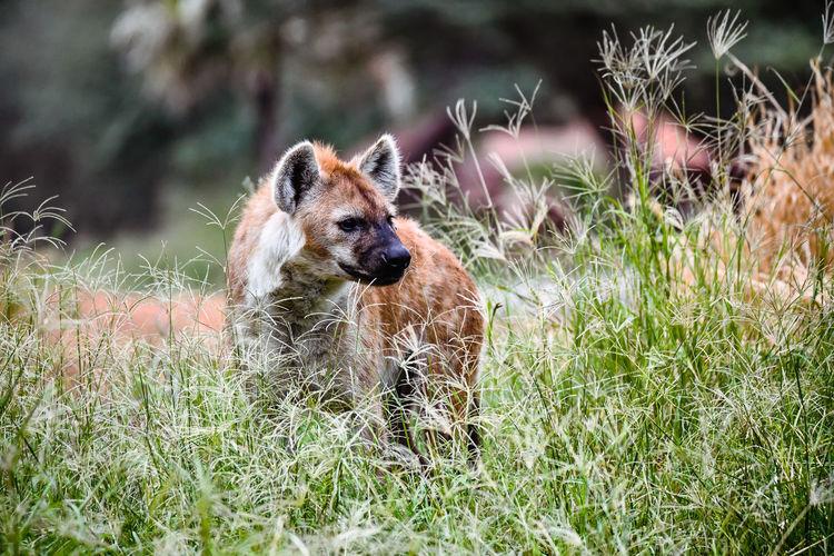 Photo of hyena dog in the wild.