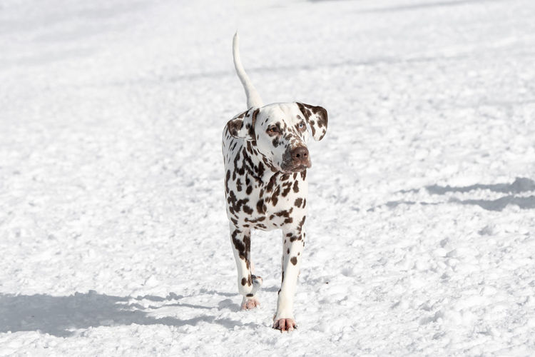 A young beautiful Dalmatian dog running in winter garden Dalmatian Dog One Animal Animal Themes Animal Mammal Domestic Animals Dog Canine Pets Domestic Snow Vertebrate Spotted No People Cold Temperature Day Nature Winter Dalmatian Dog Walking Outdoors Purebred Dog Small