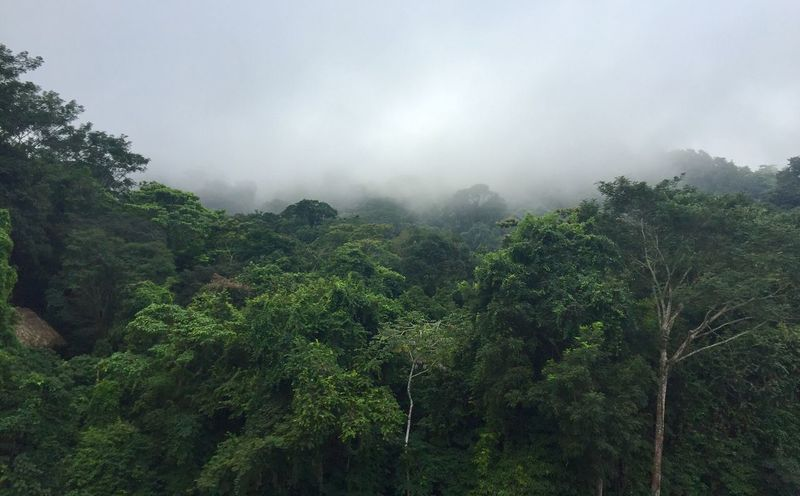 Tree Nature Beauty In Nature No People Tranquility Scenics Green Color Growth Tranquil Scene Outdoors Day Lush Foliage Sky Low Angle View Forest Mountain Fog Plant Landscape Mexico Palenque, Chiapas