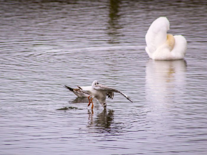 EyeEm Best Shots EyeEm Nature Lover EyeEmBestPics EyeEm Best Shots - Nature Beauty In Nature Wonders Of Nature Blackheaded Gull Feather  Lakeside Spread Wings Seagull Dipping Bird Water Lake Young Animal Freshwater Bird Swan White Swan Mute Swan Animal Neck Flapping Water Bird