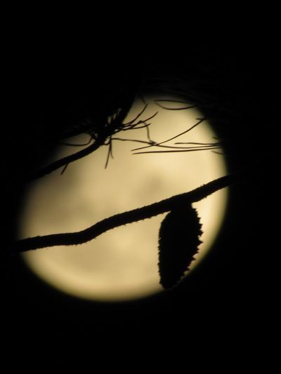 Pine tree and the Moon Full Moon Pine Tree Silhouette Close-up No People Plant Nature Fragility Beauty In Nature Leaf Vulnerability  Plant Part Invertebrate Growth Copy Space Sky Tranquility Arthropod Softness Go Higher