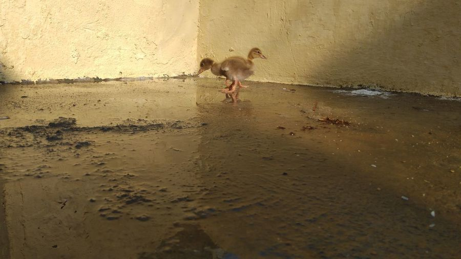 Goose Chick A New Perspective On Life Water Pets Sunset Beach Jumping Sand Wet Running