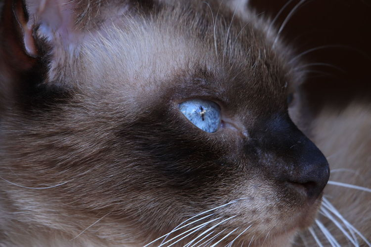 Niki the cat doesn't like shooting Canonphotography Close Up Best Friend Colour Point Cat Blue Eyes Cat Siamese Cat EyeEm Selects Pets Portrait Domestic Cat Feline Looking At Camera Brown Whisker Close-up Animal Eye Animal Ear Animal Head  Animal Nose Animal Hair HEAD Eye Iris - Eye Animal Face Animal Body Part Cat Animal Mouth Nose Snout Eyeball EyeEmNewHere