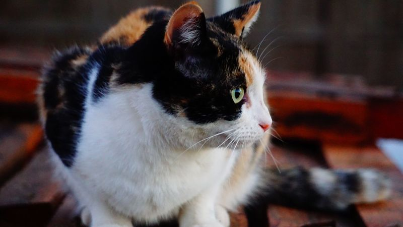 Domestic Cat Pets Domestic Animals Mammal Feline One Animal Animal Themes Indoors  Tortoiseshell Cat Close-up No People Day Calico Cat Whisker Portrait Pet Pretty