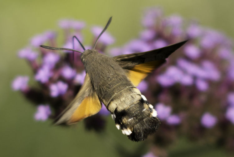 Close-up of butterfly perching on fresh pink flower