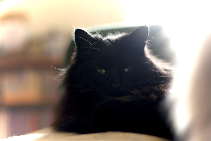 Black Cat Domestic Cat Eyemcat Feline Indoors  Mammal My Cat Is Cooler Than Your Kids! Pets Whisker