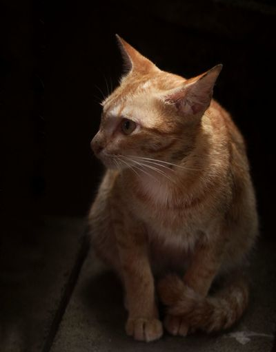 Cat Dark Darktone Black Yellow Lift Look Pets Portrait Domestic Cat Ear Cute Sitting Eye Close-up