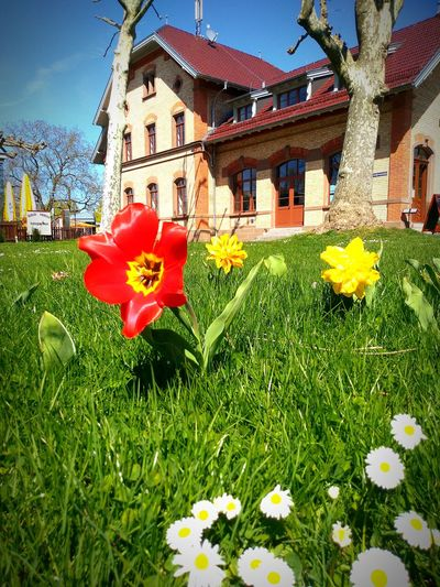 Meadow with flowers Tulips🌷 Daisies Nature Photography No People Approaching From Another View Sunlight Flower Head Flower Red Yellow Sky Architecture Blossom EyeEmNewHere Summer Exploratorium Creative Space