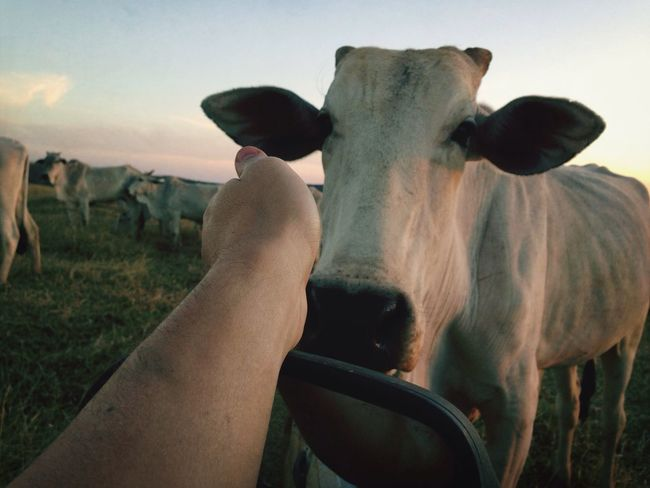De domingo na fazenda Farm Cow