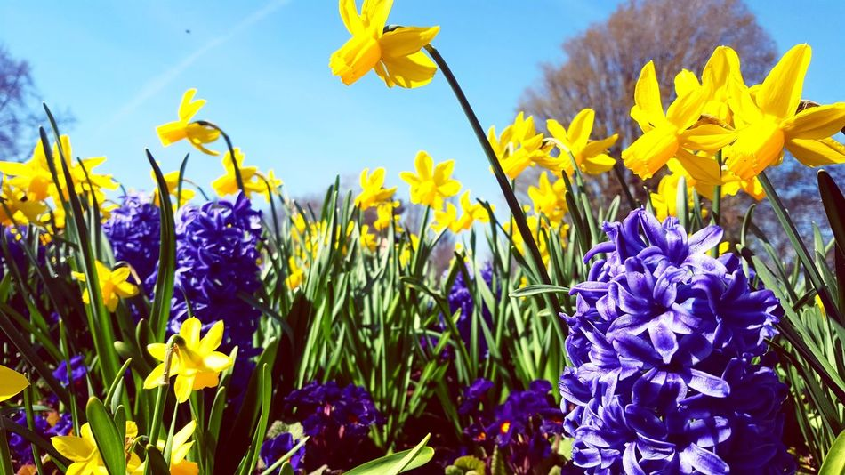 daffodils Cute Contrast Park Daffodil Daffodils Grass Growth Flowers Calm Flower Head Flower Crocus Multi Colored Flowerbed Yellow Summer Purple Springtime Blue Iris - Plant In Bloom Blossom Flowering Plant Petal Plant Life Blooming Botany Stamen Inner Power Go Higher This Is Queer Summer Exploratorium Going Remote