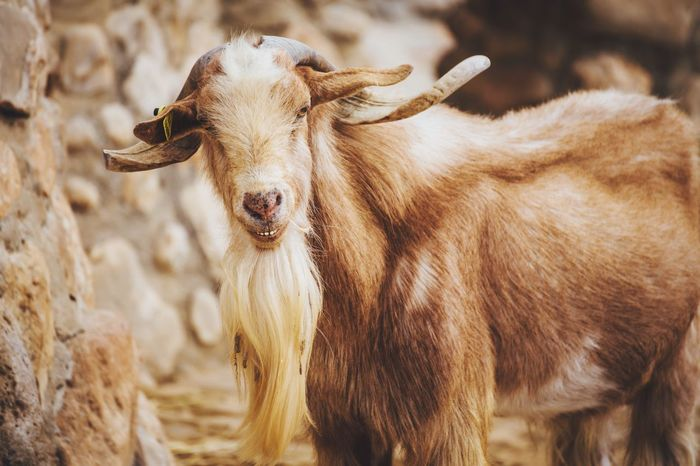 Malagueña Goat Animal Portrait Nature Rural Scenes Farm Rural Scene Goat Spanish Goats Connected With Nature Getting Inspired Animal Portrait EyeEm Best Shots