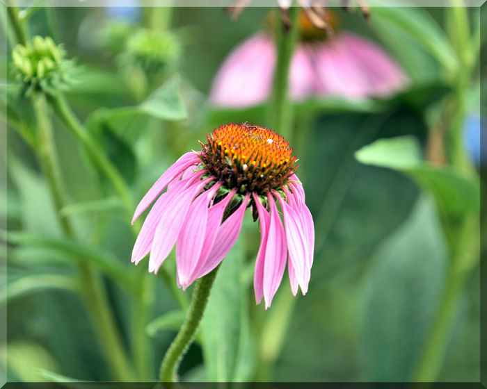 Late Summer At Merritt Gardens 6 Oakland, Ca. The Gardens At Lake Merritt Lakeside Park Garden _collection Garden_Photography Flowers Cone Flower Echinacea Angustifolia Asteraceae Flower_Collection Flower Head Blooms Petals Late Summer -early Fall PurpleNature Beauty In Nature Nature_collection Freshness Botanical Garden Horticulture Botany