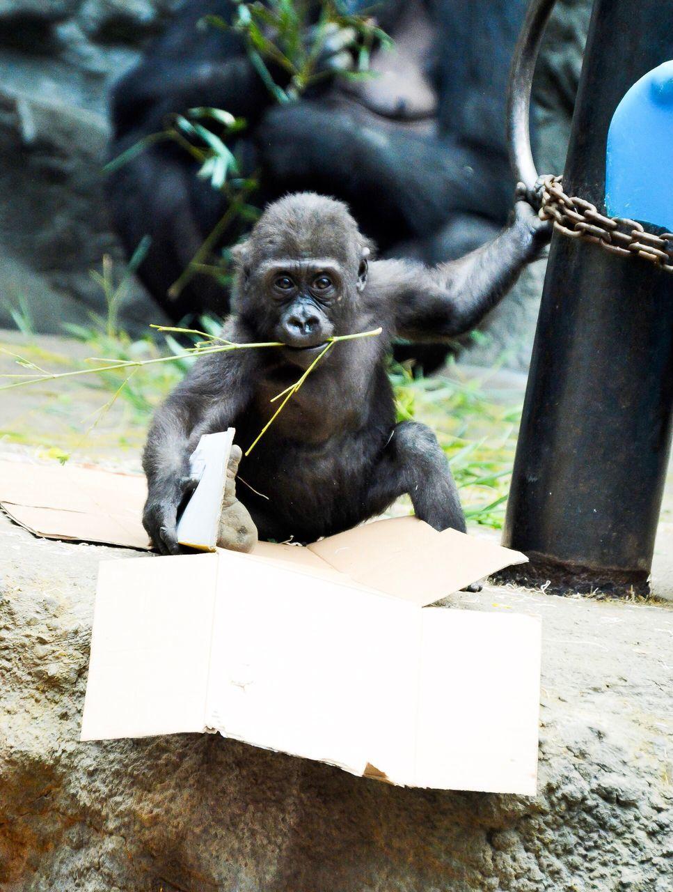 Portrait Of Infant Gorilla Sitting Outdoors