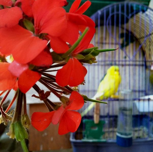 Flower Red Nature Beauty In Nature Day No People Flower Head Plant Growth Flowers EyeEm Selects Bird Bird In A Cage Crafted Beauty