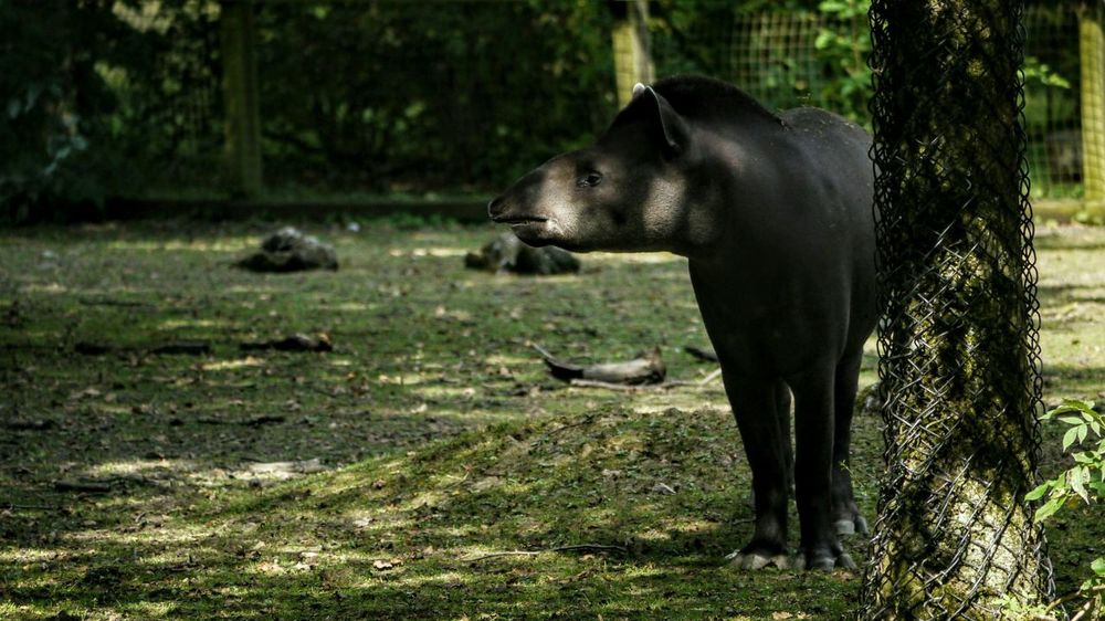 Tapir Zoo Zoo Animals