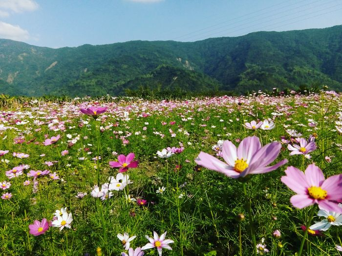2018 EyeEm Colorful Beauty In Nature My Hometown Sunnyday☀️ Blue Sky Colorful Amazing View Love My Home Town Flower Head Flower Mountain Rural Scene Agriculture Springtime Field Petal Tree Sky
