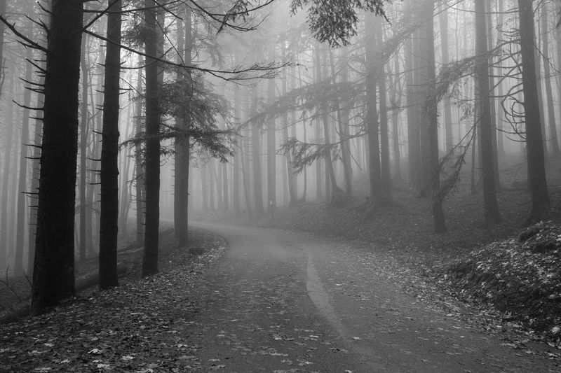 Pine trees in forest during foggy weather