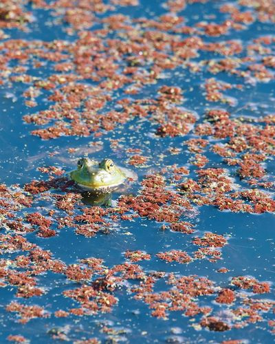 High angle view of frog floating on water