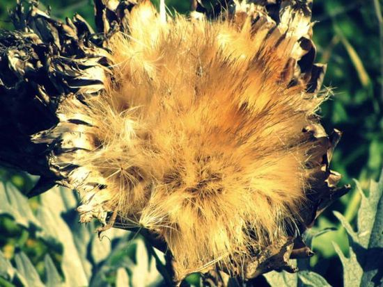 Artichoke Flower Artichoke Nature Flower Plant Growth Outdoors No People Close-up Beauty In Nature Day Flower Head Plants Collection Lefka Cyprus Lefka, Cyprus EyeEmNewHere