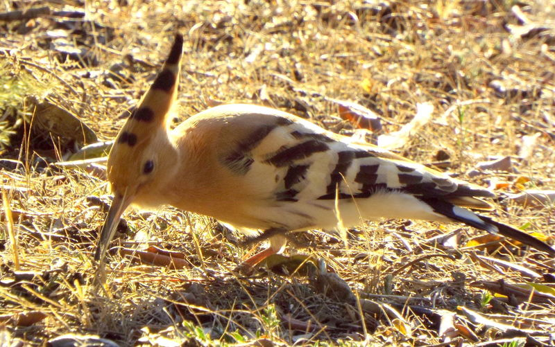 Abubilla Alertness Animal Animal Themes Animals In The Wild Bird Bird Photography Birdwatching Curiosity Focus On Foreground Hoopoe No People One Animal PU-PUT Relaxing Selective Focus Two Animals Wildlife Zoology