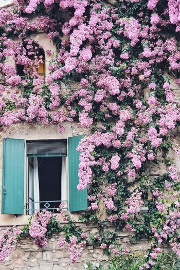 Pink flowering plant against building