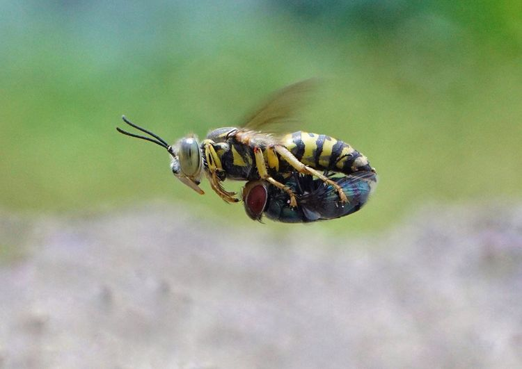 Sand wasp with the prey Wasp Animal Themes Animal Wildlife Fly Bee Prey Animal Prey Insect Close-up Animal Themes Fly Animal Leg Animal Limb Housefly Animal Antenna Honey Bee