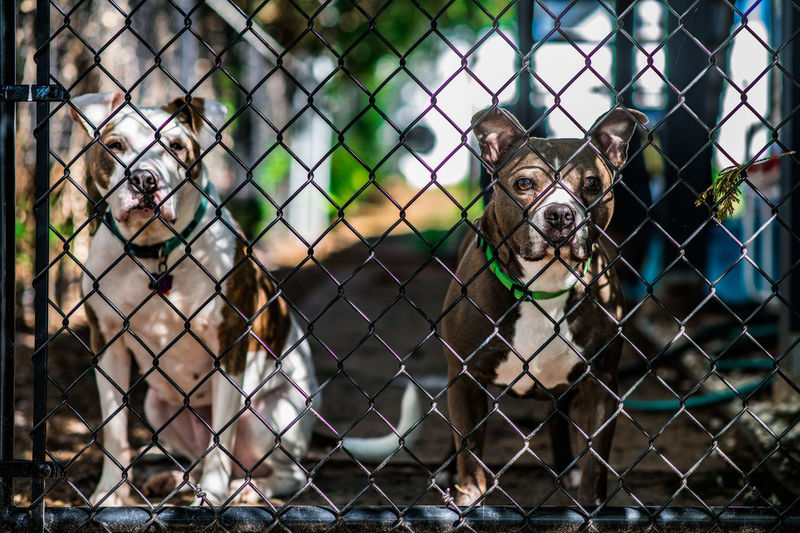 Fence Mammal Animal Chainlink Fence Boundary Focus On Foreground Barrier Vertebrate Animals In Captivity No People Animal Themes Portrait Looking At Camera Day Protection Safety Security One Animal Animal Wildlife Domestic Animals Outdoors Dogslife American Bulldog Bullboxer Staff