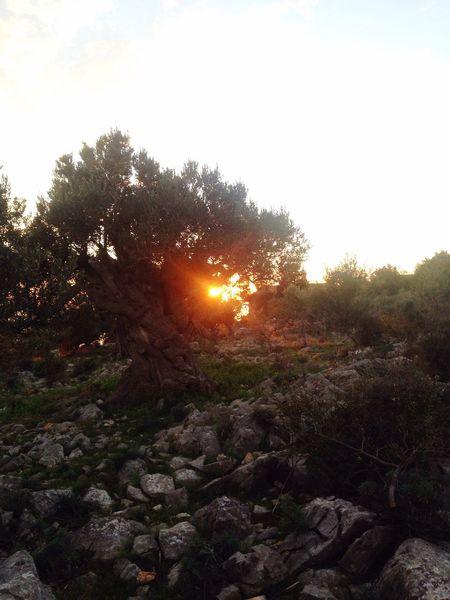 Olive Tree Sun And Trees Sun