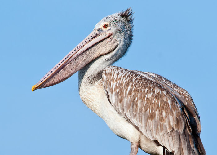 Low angle view of pelican against clear sky