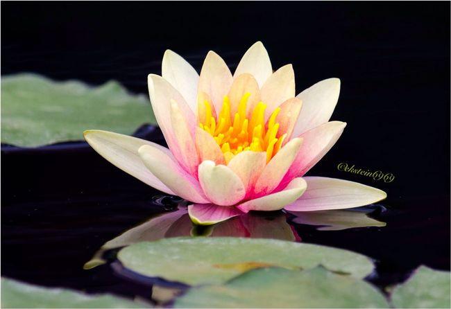 Water lilies...... EyeEm Best Shots - Nature Flowerporn Flower Collection Flowers