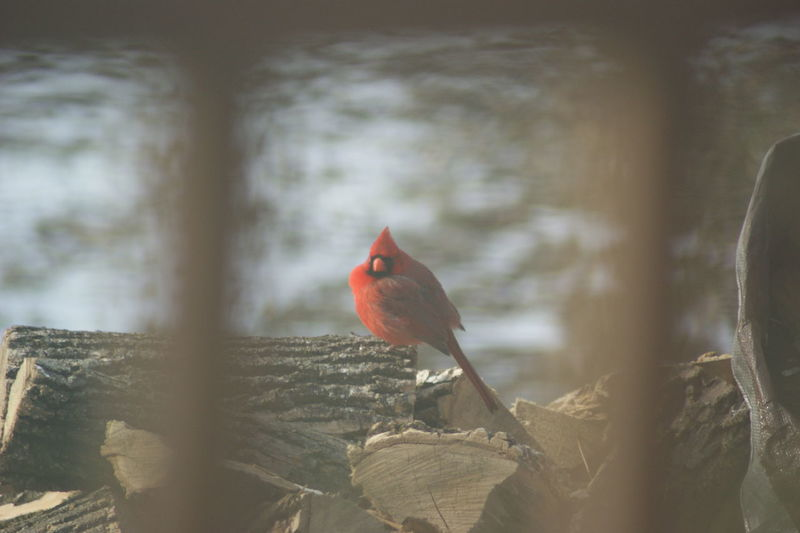 Alert Animal Themes Animals In The Wild Beak Bird Cardinal Close-up Depth Of Field Focus On Foreground Looking Male Cardinal Perching Red Bird Selective Focus Side View Wildlife