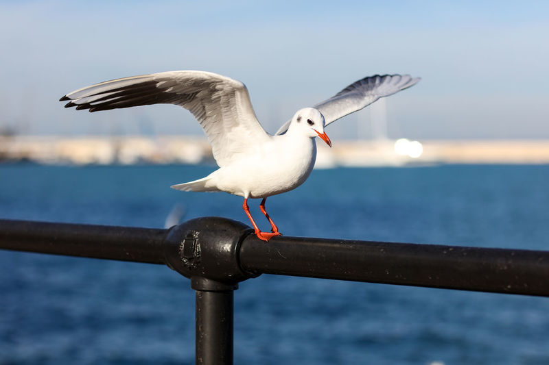 Seagull Seagull Bird Water Sea Railing Perching Day Outdoors Launching Take Off Animal One Animal Nature No People Sky