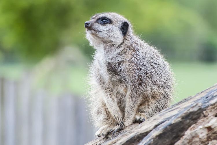 Keeping an eye out Meerkat Animal Wildlife Nature Watching Tree Mamal On Watch Meerkat Portrait Cute Close-up
