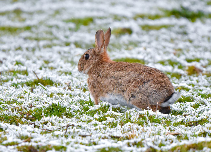 Close-up of rabbit on frozen field