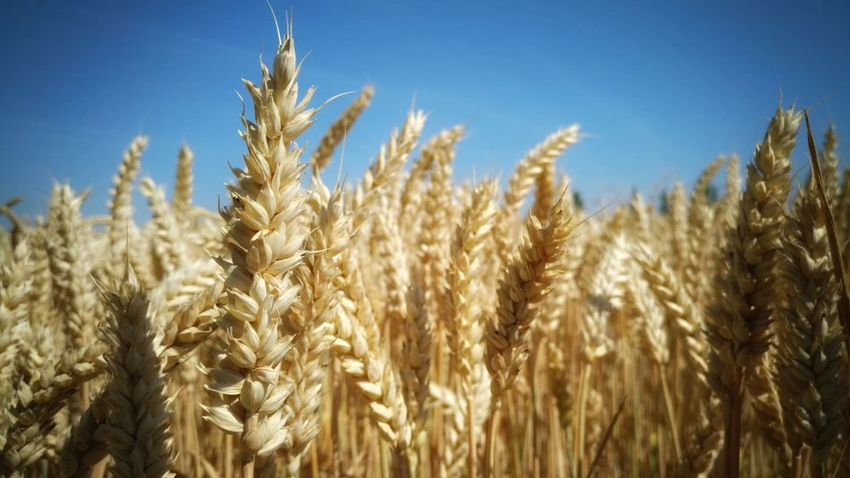 Cereal Plant Crop  Agriculture Growth Field Rural Scene Wheat Shotononeplus Plant Nature Cultivated Seed Ear Of Wheat Gold Colored Outdoors Rye - Grain Close-up Wheat Springtime Oneplusphotography OneplusphotowalkSnapseed Smartphonephotography Onepluslife Cameraphone Perspectives On Nature