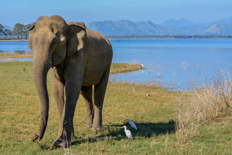 Elephant, Uduwale safari Animal Themes Animal Wildlife Animal Safari Safari Animals Elephant Asian Elephant Animal Nature Sri Lanka