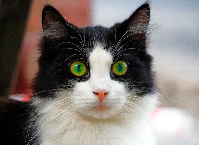 Cat Yellow Yellow Eye Yellow Eyes Yellow Eyed Cat Green Green Color Green Eyes Green Eyed Cat Cat Pets Portrait Domestic Cat Looking At Camera Feline Close-up Animal Eye Cat Animal Head  Snout Animal Nose Stray Animal Animal Face Whisker Eye