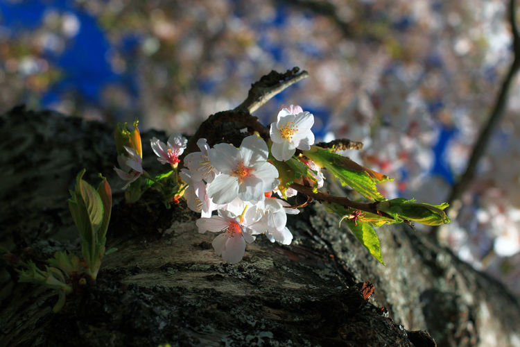 Beauty In Nature Blossom Close-up Day Flower Flower Head Fragility Freshness Growth Nature No People Outdoors Petal Plant Spring Springtime Springtime Blossoms