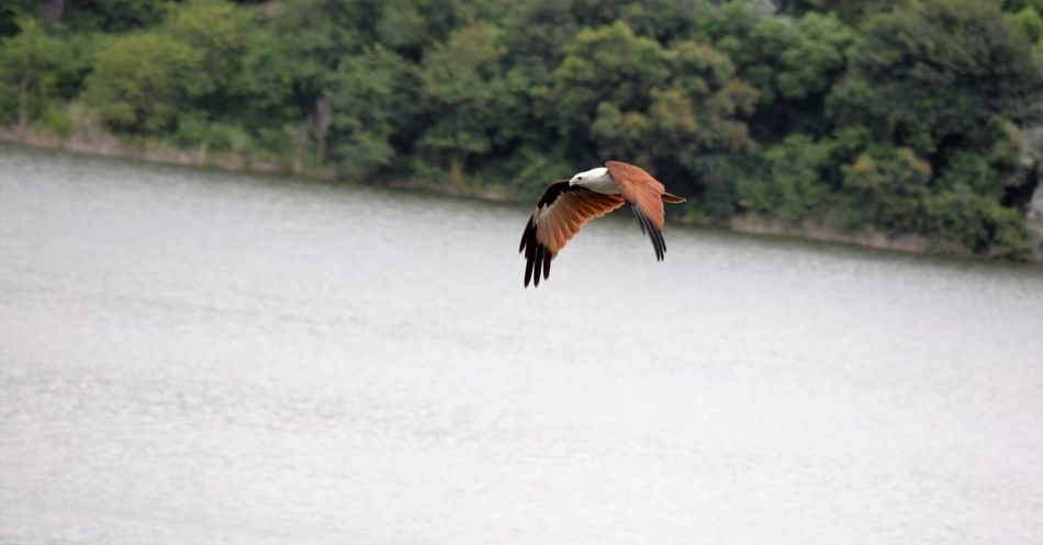 Animal Themes Animals In The Wild Bird Brahmani Kite Day Flying Focus On Foreground Full Length Nature No People One Animal Wildlife Zoology