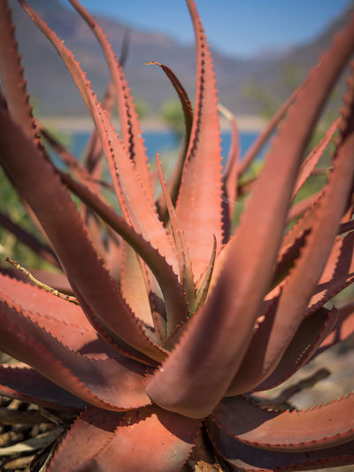 Aloe Aloe Vera Plant Arid Climate Beauty In Nature Cactus Close-up Day Growth Herbal Medicine Nature No People Outdoors Plant Spiked Thorn Uncultivated