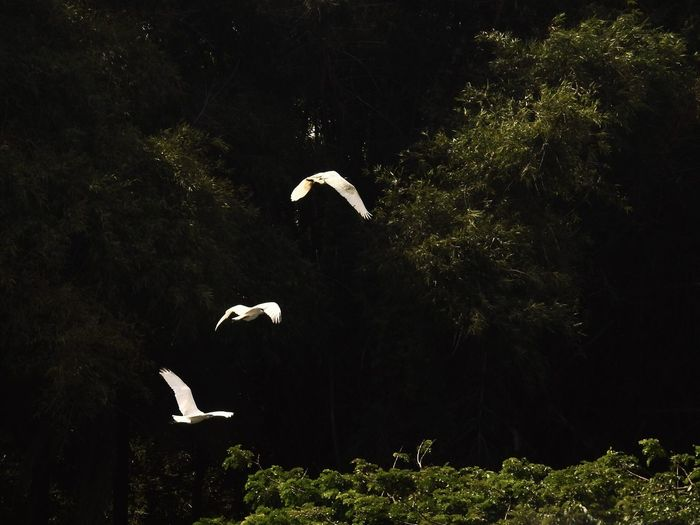 Three birds flying in formation. Clicked at the Ranganathittu Bird Sanctuary in Mysore, India Nature Nature Photography Bird Photography Birds Of EyeEm  Birdwatching Birds In Flight Bird Spread Wings Flying Tree Black Background Stork Pelican Flock Of Birds Water Bird Flapping Avian Migrating