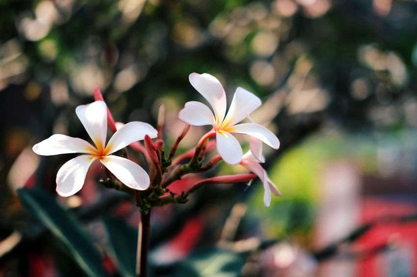 Flower Beauty In Nature Nature Close-up Growth Flower Head Plant Petal Fragility No People Freshness Outdoors Frangipani Day Plumaria Temple Tree Pagoda Tree Nontaburi Thailand