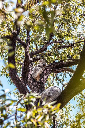 Low angle view of koalas on tree