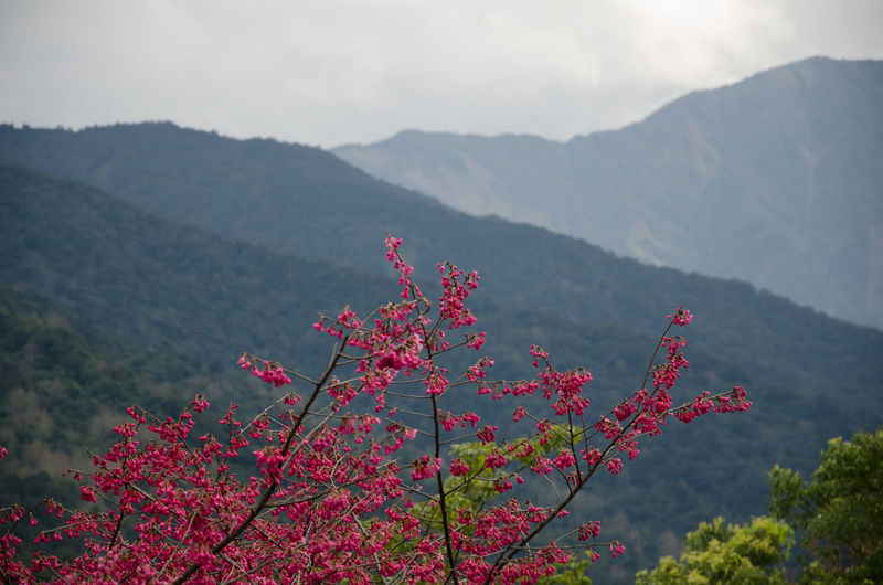 Pink Cherry Blossom Tree Against Mountain Range