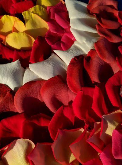 Full frame shot of red roses