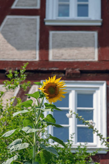 Flower Flowering Plant Plant Yellow Growth Building Exterior Fragility Architecture Built Structure Freshness Vulnerability  Building Nature Beauty In Nature Day No People Focus On Foreground House Flower Head Inflorescence Outdoors Sunflower Pollen Sonnenblume Fenster Fachwerk