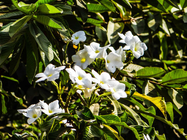 NATURE... WHITE COLOR FLOWERS... Nature Beauty In Nature Day Between The Branches Of The Tree Green Leaves Branches White Flowers Flower Head Flower Leaf Petal Close-up Plant Blooming In Bloom Blossom