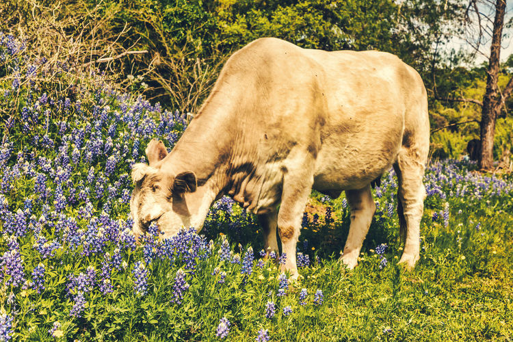 Cow grazing through a meadow with blue bonnets Blue Bonnets Meadow Textured  Springtime Spring Flowers Hill Country Texas Cow Cows Hill Country Animal Mammal Animal Themes Plant Domestic Animals Flower Flowering Plant Field Vertebrate Land Domestic One Animal Nature Livestock Pets No People Day Growth Animal Wildlife Cattle Outdoors Herbivorous