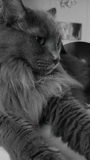 Pelosetto Norwegian Forest Cat Pets Domestic Cat Close-up Whisker Kitten Feline Cat Animal Nose Animal Eye Domestic Animals Animal Face At Home Animal Hair