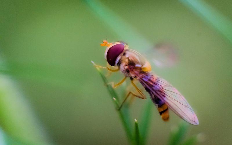 Macro insect bee